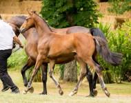gentleman-de-la-loge-foal